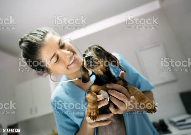 Friendly female veterinarian listening to a baby dogs heart with a picture id918369138?b=1&k=6&m=918369138&s=612x612&h=4uy4notnvs3rlzc7hwim xiljavbvyvoihzhjtfibs4=