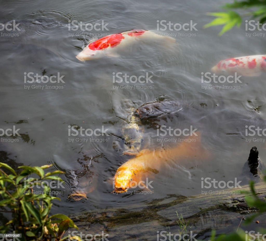 Friendly Fishes of Kinkaku-ji Temple stock photo