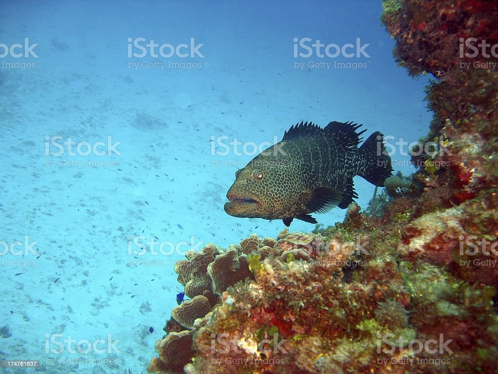 Friendly Grouper royalty-free stock photo