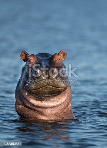 friendly looking hippo