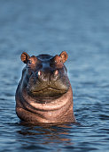 Frontal Portrait of Hippo Partially Submerged Under Water