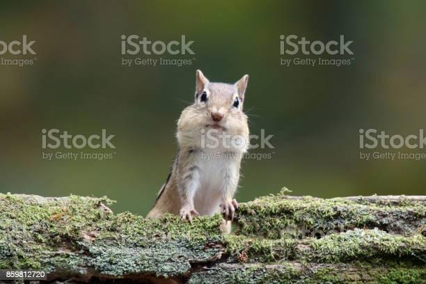 Photo of Friendly Little Eastern Chipmunk