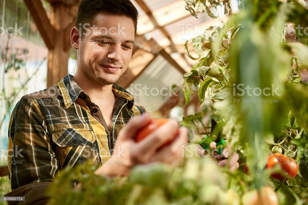 Friendly man harvesting fresh tomatoes from the greenhouse garden putting stock photo