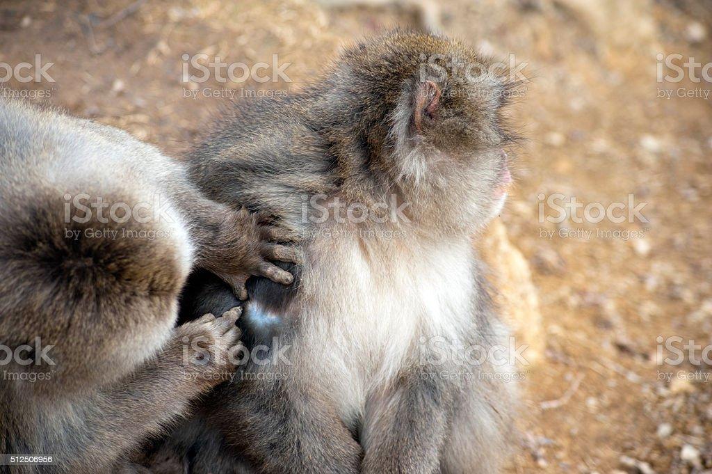 Friendly monkey preening friend stock photo