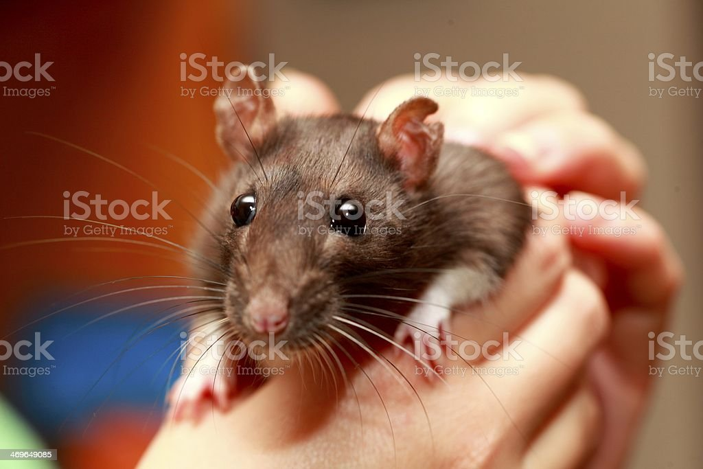 Friendly pet brown rat in human hand, animals at home stock photo