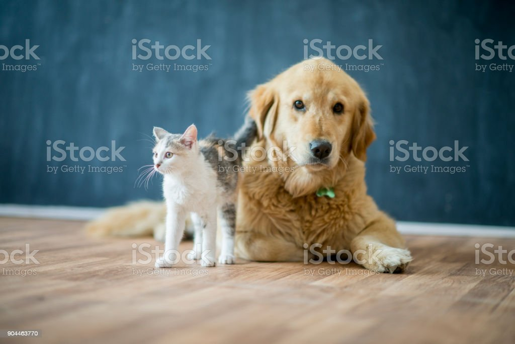 Friendly Pets A golden retriever dog and a tabby cat are together in a room. The dog is sitting on the floor and the cat is beside it. They seem happy together. Animal Stock Photo