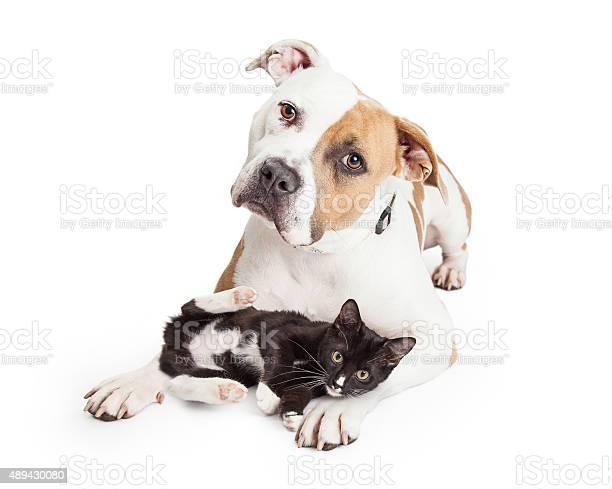 Friendly pit bull dog and affectionate kitten picture id489430080?b=1&k=6&m=489430080&s=612x612&h=hxj1vbojr4p1qff8ixdf2 uhvvzfibeh65tomz atpq=