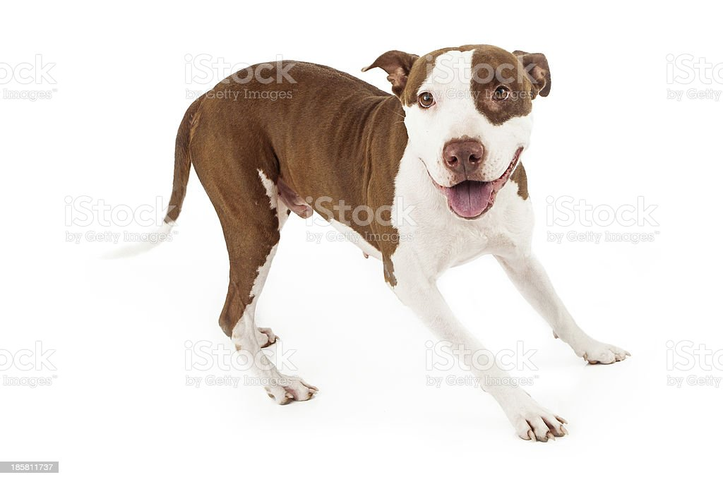 Friendly Pit Bull Dog Playing royalty-free stock photo