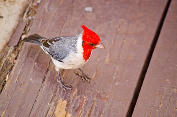freundliche red-crested cardinal - die wilden 20er stock-fotos und bilder