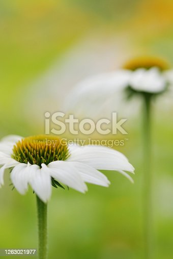 A white coneflower on a stem glowing in the sunlight with a friend nearby.