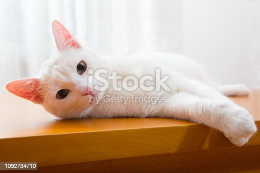 young white cat lying at side, ooking into camera