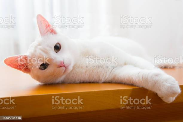 Friendly white cat looking into camera picture id1092734710?b=1&k=6&m=1092734710&s=612x612&h=l5lbbdq53n7vbsdf402kibvc9s9772w cfznhpjorfc=