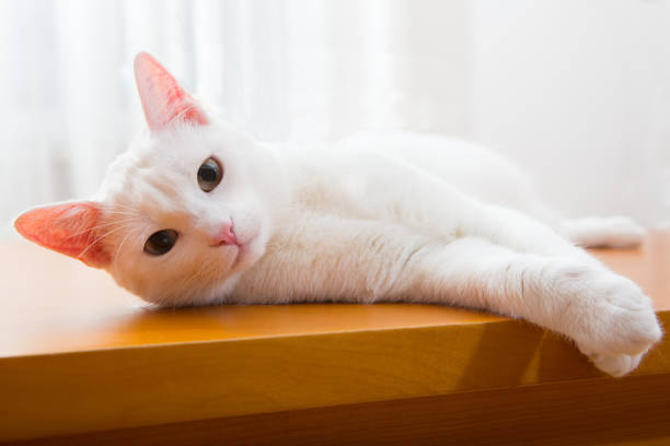 Friendly white cat looking into camera picture id1092734710?b=1&k=6&m=1092734710&s=612x612&w=0&h=zrwy8onda6s8mywsrydcci1i4zorzvilhql5cpx9lsk=
