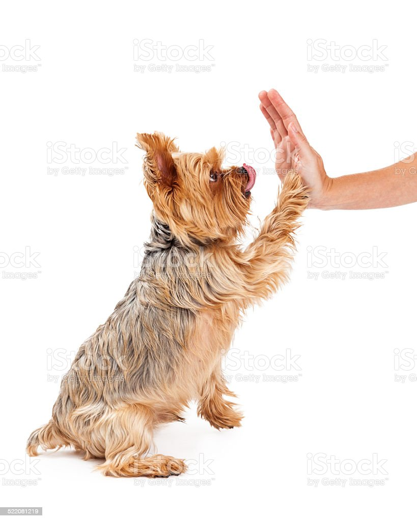 Friendly Yorkshire Terrier Puppy Extending Paw To Shake stock photo