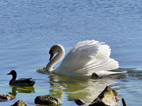 The swan and the duck are swimming site  by site