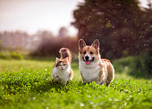 istock friends red cat and corgi dog walking in a summer meadow under the drops of warm rain 1324099927