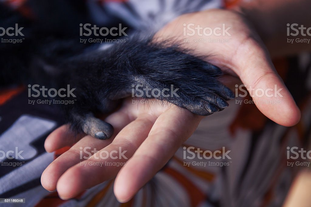 Friendship Between Human Monkey, Handshake. Protection of endangered animals. stock photo
