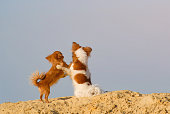 istock friendship concept of two small dogs chihuahua pets hugging each other standing on sand on blue sky with copyspace background embrace of love 1141142927