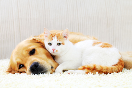 Cute pets resting together. Friendship of a dog and cat.