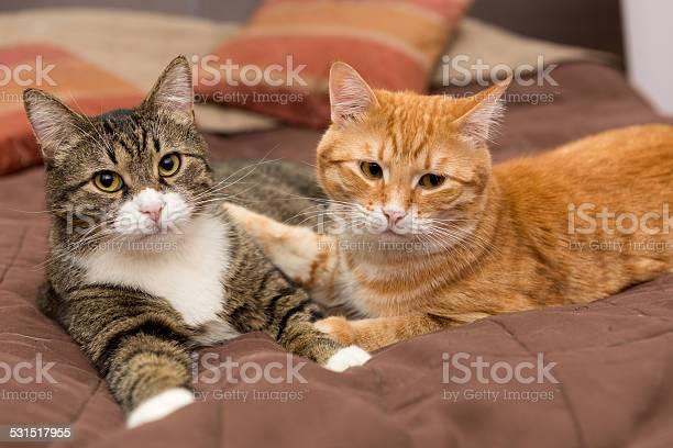 Friendship of the two striped cats picture id531517955?b=1&k=6&m=531517955&s=612x612&h=qcbooas wnyc5ywtusxnbb vmixqeayyaouog2cx0jk=