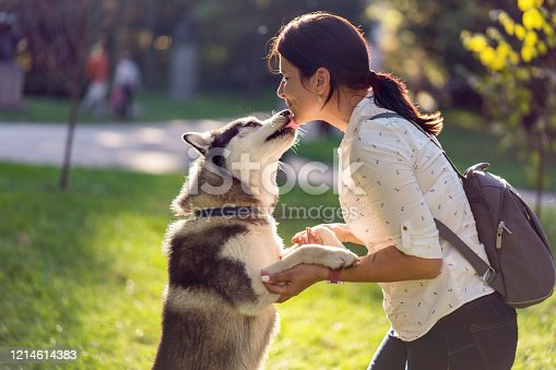 Young Siberian husky showing love to his owner