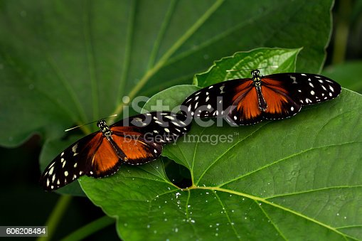 Tropical Butterflies Dido Longwing on the green leafs.