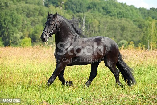 Friesian black horse with long mane in summer meadow background