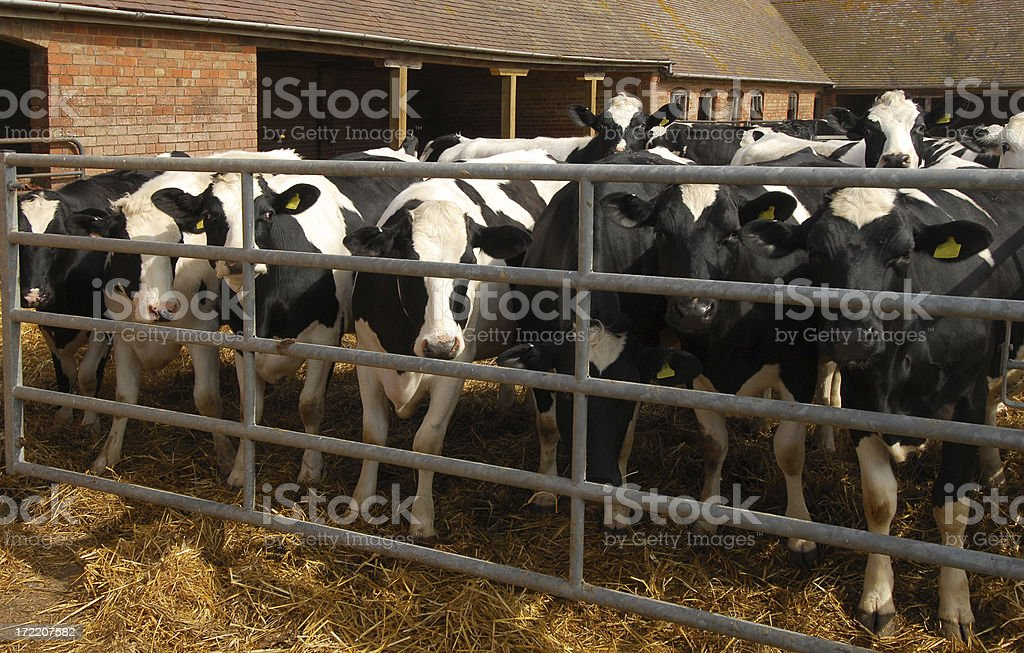 Friesian Cattle #1 royalty-free stock photo