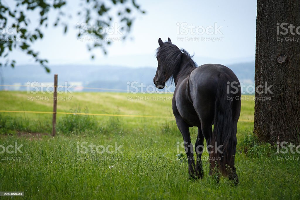 Friesian colt in meadow stock photo