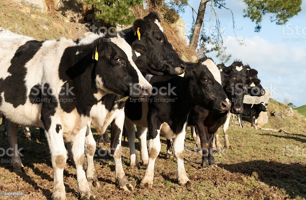 Friesian cows ina row stock photo