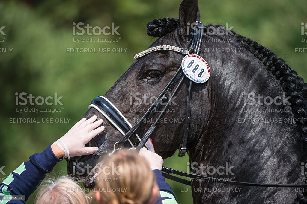 Friesian dressage horse being checked by vet in Falsterbo stock photo