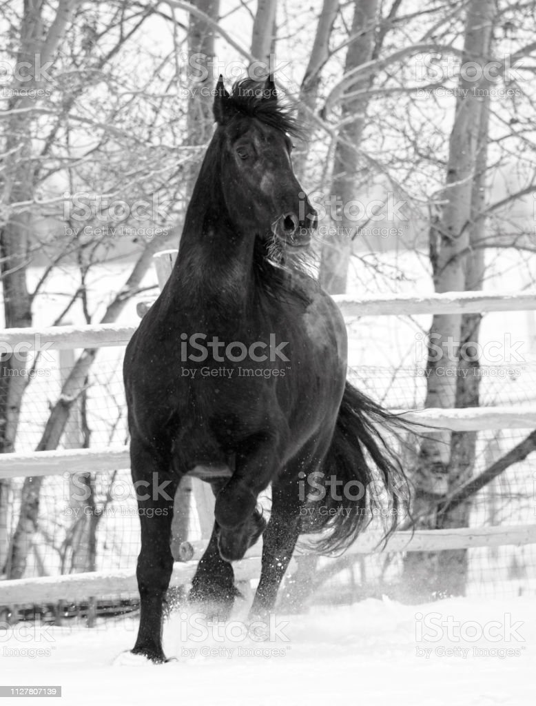 Friesian Horse In The Snow Stock Photo Download Image Now Istock