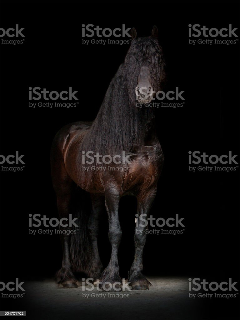friesian horse on the black background stock photo