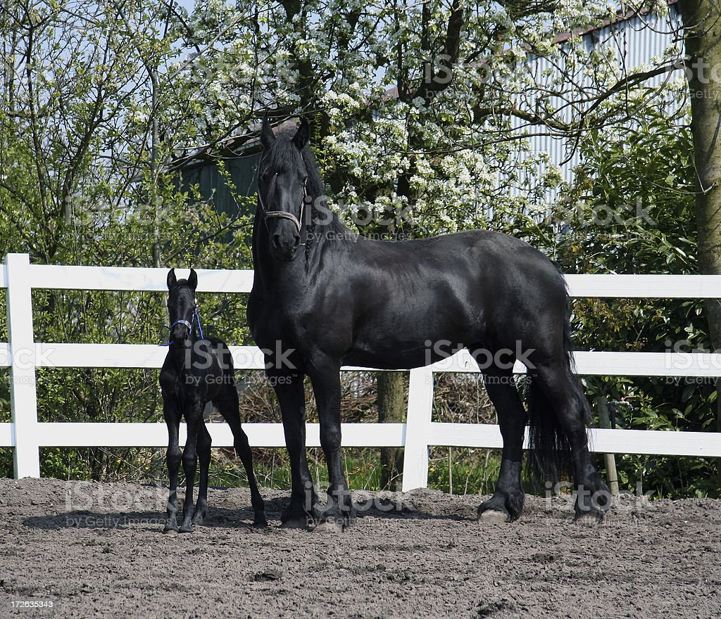 Friesian mother and daughter 3 royalty-free stock photo