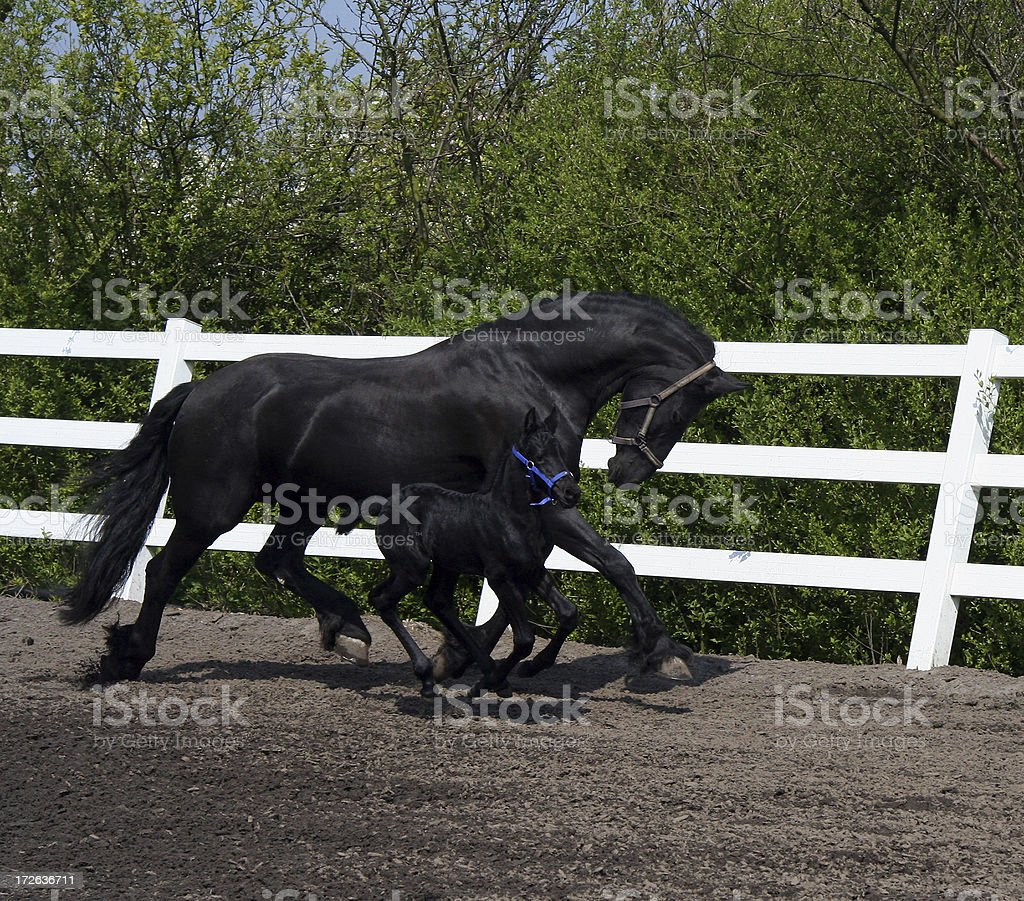 Friesian mother and daughter running 4 royalty-free stock photo