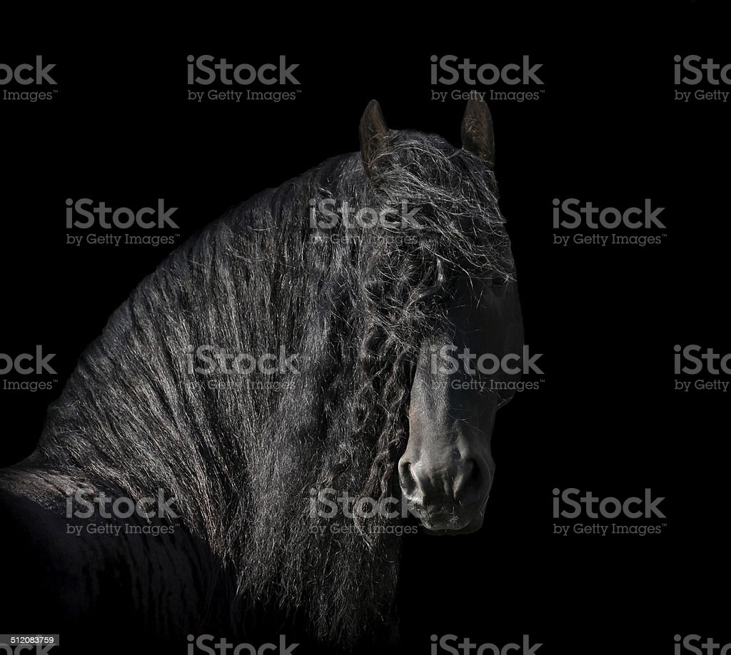 friesian stallion stock photo