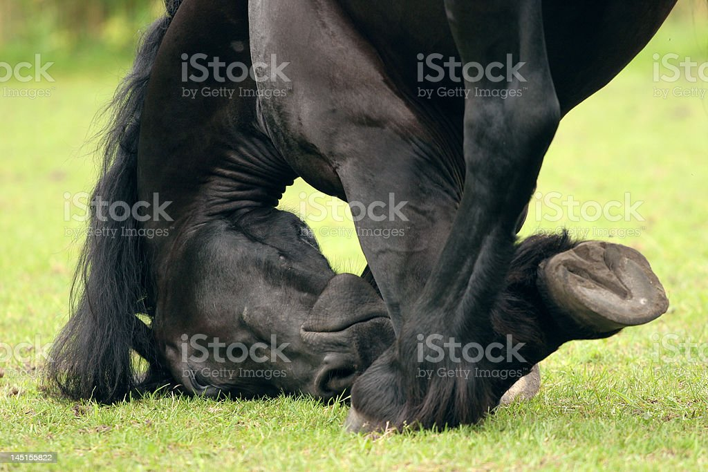 Friesian up close royalty-free stock photo