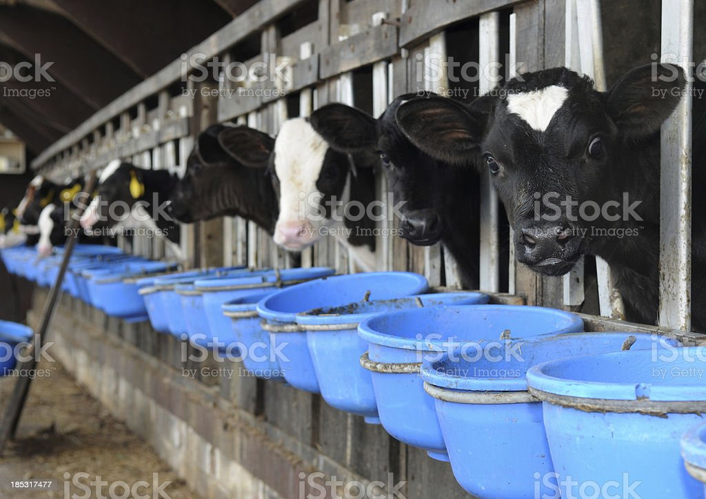 Friesland, the Netherlands, calves drinking stock photo