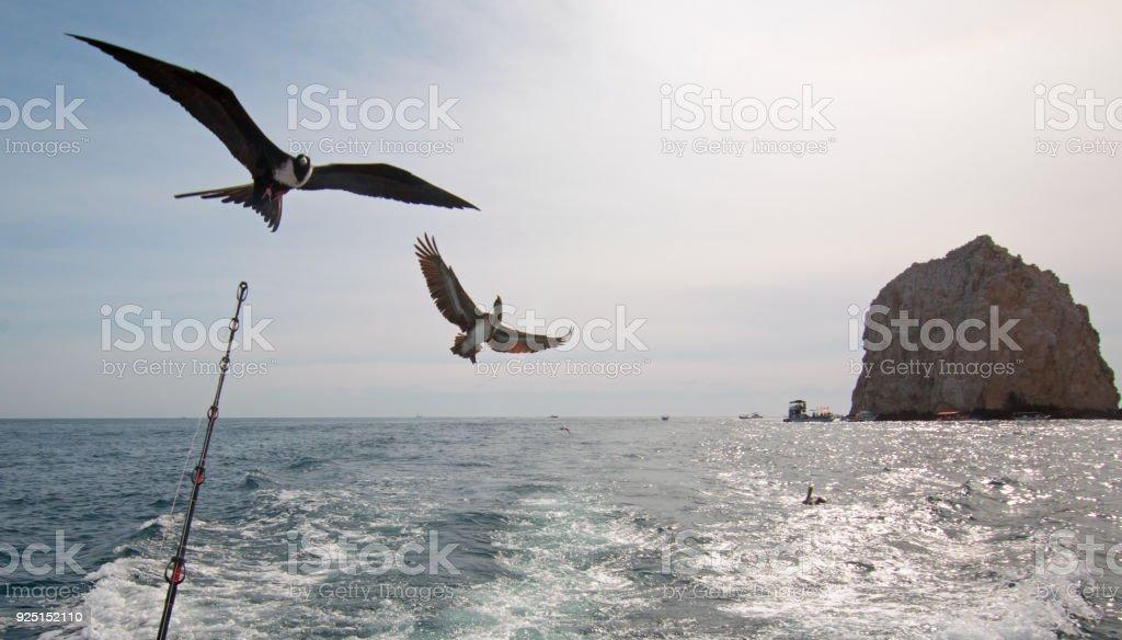Fregattvogel und Pelikan fliegen hinter Charta Angeln Boot in Cabo San Lucas Baja California Mexiko BCS – Foto