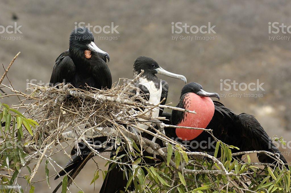 Frigate Birds royalty-free stock photo
