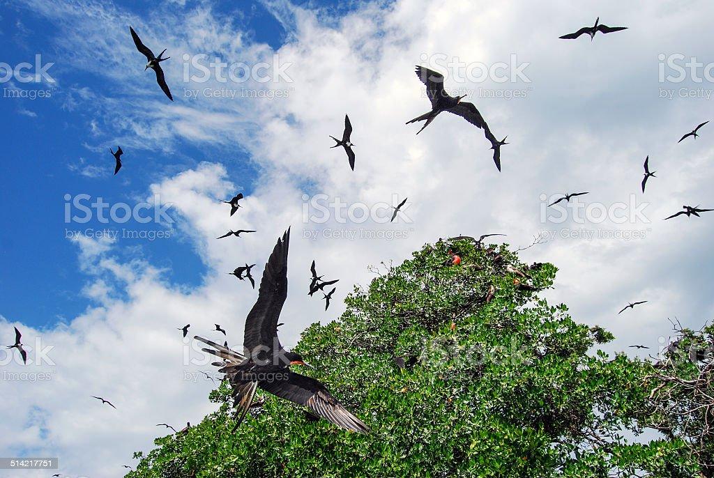 Frigate Rookery stock photo