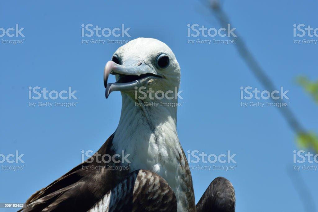 Frigatebird juvenile perched on a branch on Isla de la Plata Ecuador stock photo