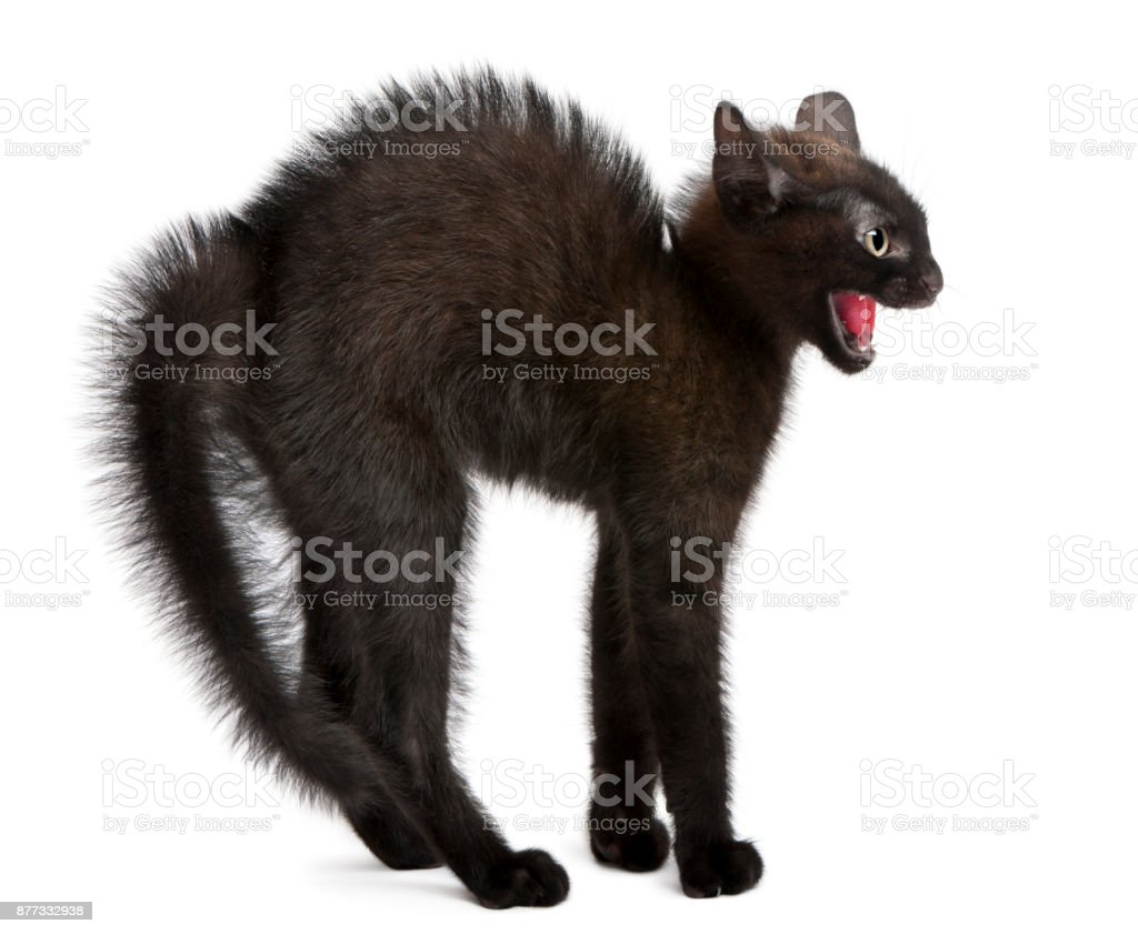 Frightened black kitten standing in front of white background stock photo