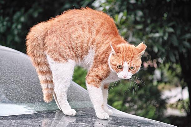 angst cat - gedehnte ohren stock-fotos und bilder