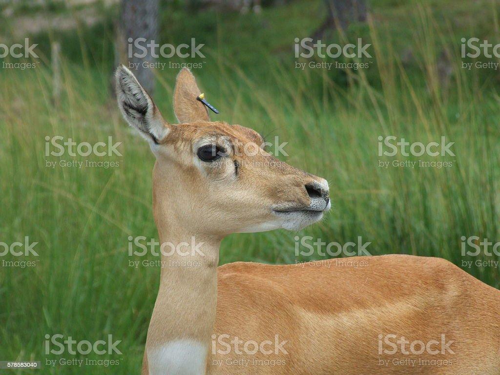 Frightened deer stock photo