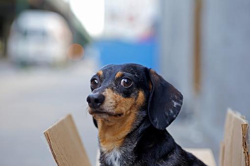 Frightened looking dachshund on city sidewalk