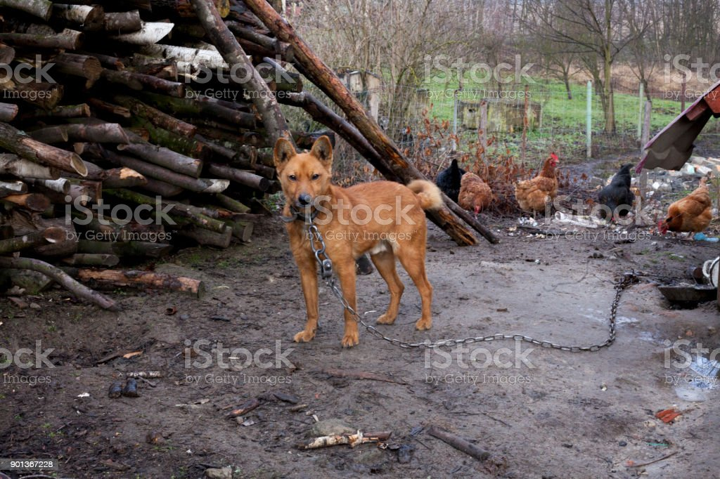 Frightened Mongrel Dog On A Chain. Dog On A Leash In Countryside With Rural  Area