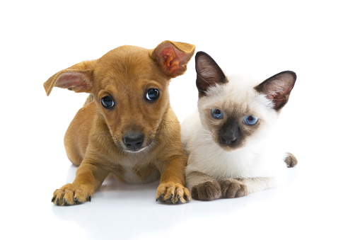 embarrassed Chihuahua dog and siames cat at a white background