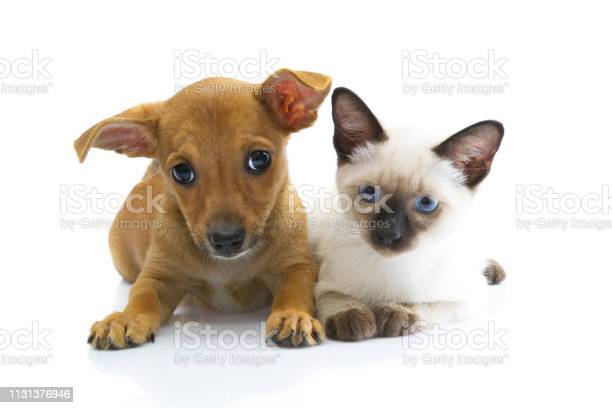 Frightened puppy chihuahua and siames cat on white background picture id1131376946?b=1&k=6&m=1131376946&s=612x612&h=huepuritq3rqdqzmtjpyw wm95bcnuwkici13lqsne8=