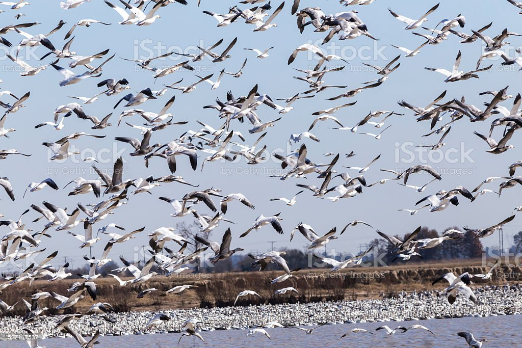 Frightened Snow Geese (Chen caerulescens) stock photo